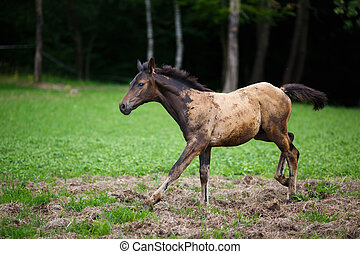Running young foal on the meadow at summer time