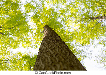 Maple tree trunk and branches POV - View from below of a...