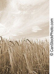 grain field under cloudy sky