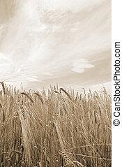 grain field under cloudy sky