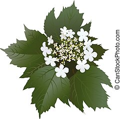 White viburnum flowers with leaves and buds. Bunch of...