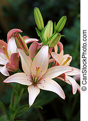 Lilium - Lily plant employs more than a hundred species of...