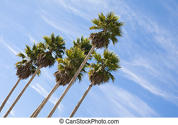 Palm trees - Tall palm trees against a blue sky