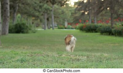 Rough-collie runs. - Dog catches the ball. Collie jumps....