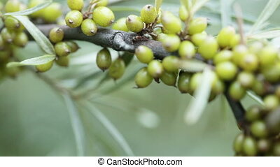 Unripe Seabuckthorn - On background of greenery Unripe...