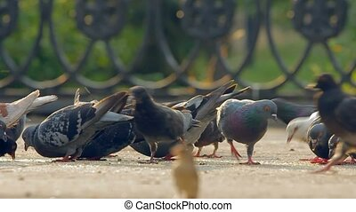 A flock of pigeons eating bread crumbs at city. - Pigeons...