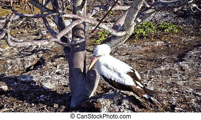 Nazca Booby in Galapagos - Video of a Nazca Booby in the...