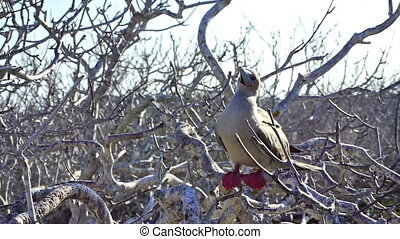 Red Footed Booby in Galapagos - Red footed booby and ambient...