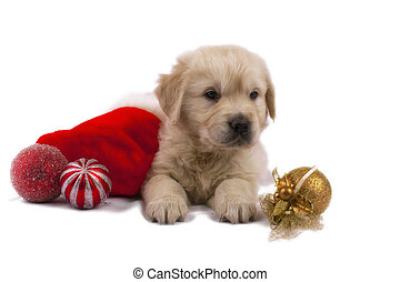 Golden retriever puppy isolated on white with christmas toys...
