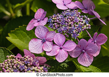 purple hortensia flower - close up of purple hortensia...