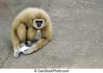 gibbon:Hylobates lar - Gibbons rare genetic center Less...