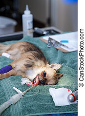 Dog under anesthesia - Small dog under anesthesia before an...