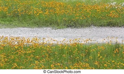Cosmos flowers and dirt road in the wind