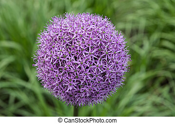 allium gladiator - Purple flower of allium gladiator on...