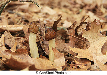 Close-up of Morel Mushrooms in the - Close-up of wild morel...