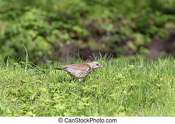 snowbird on grass - snowbird on the green spring grass...