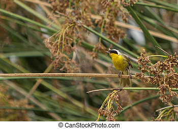 Eastern yellow wagtail, Motacilla flava, in spring in a bush