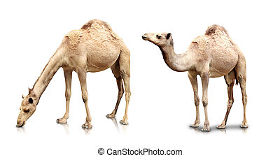 Two camels isolated in white background