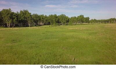Summer green grass and birch forest. West Siberian Plain....