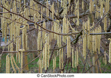 hazel florescence in spring time