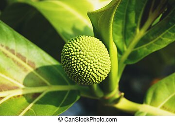 close up young breadfruit species name is Artocarpus...