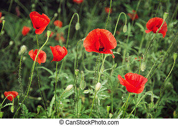 Red corn poppy Papaver rhoeas - Papaver rhoeas Corn poppy,...
