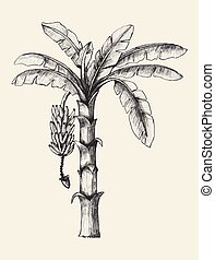 Banana Tree - Sketch illustration of banana tree
