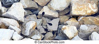 renacuajos, en, el, charca, con, piedra, en, el,...