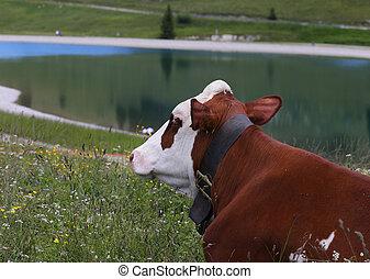 montañas, pradera, vaca, pasto