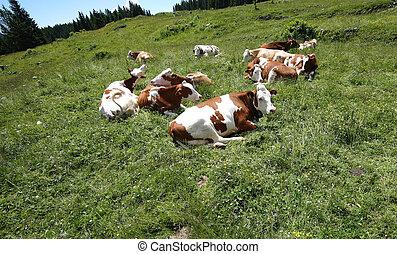 vacas, pasto, en, el, pradera, en, el, montañas,