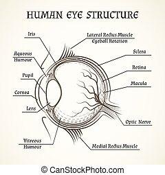 Vector structure of the human eye Anatomy and medicine, iris...