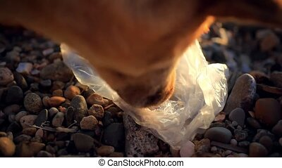 stray dog eating garbage in the beach - homeless dog eating...