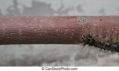 Hairy larva on a stick - A hairy larva on a stick