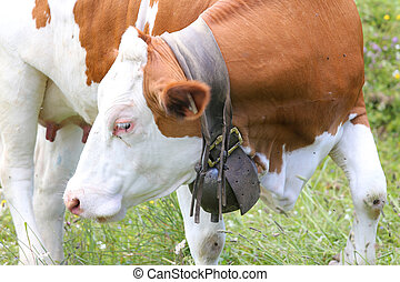 cow Bell cow in cattle breeding - large cow Bell cow in...