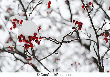 Rowan in the snow - Clusters of red rowan berry under the...