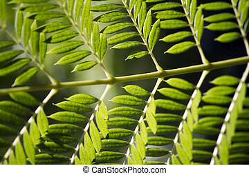 Bipinnate leaflets type of tree leaf - Close macro view of a...