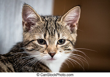 portrait of a little tiger kitten - portrait of a little...