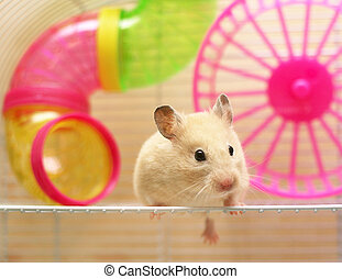 Syrian hamster - hamster still sits in a cage