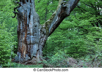 Old Oak in the Forest