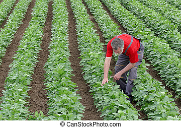 Farmer or agronomist in soy bean field examine plant -...