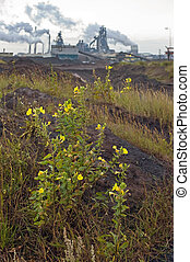Nature and industry - Flowers in the dunes with a heavy...