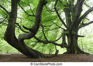 Old Beech in the Forest