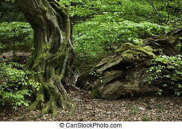 Old Hornbeam in the Forest