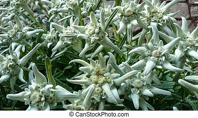 group of Edelweiss (Leontopodium alpinum), as background