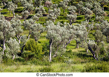 Grove of olive trees in Montenegro on a summer day - Grove...