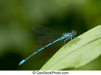 blue dragonfly sits on a leaf