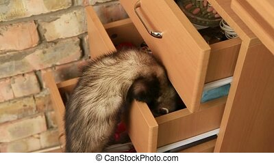 Ferret In a Drawer - Slow Motion. Ferret searching for...