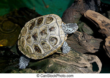 diamondback terrapin tortoise with nature background