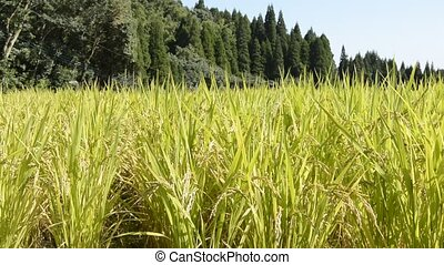 Yellow rice field - Harvest season of rice field in front of...