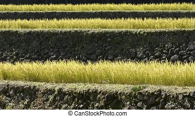 Terraced rice field - Harvest season of terraced rice field...